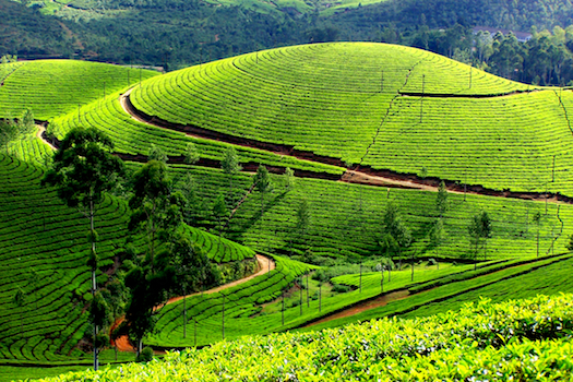 Tea plantations in mummar kerala